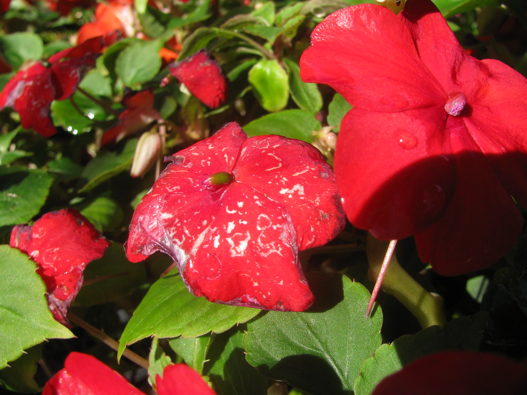 starr-130114-1400-Impatiens_walleriana-flower_with_water_spots-Paia-Maui