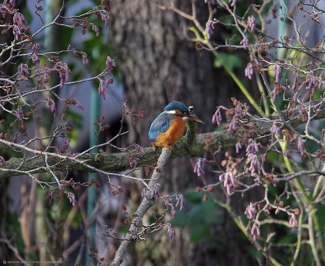 female kingfisher (2)