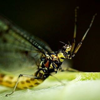 mayfly #closeup #macro #flyfishing #love #bugs #insects #… | Flickr