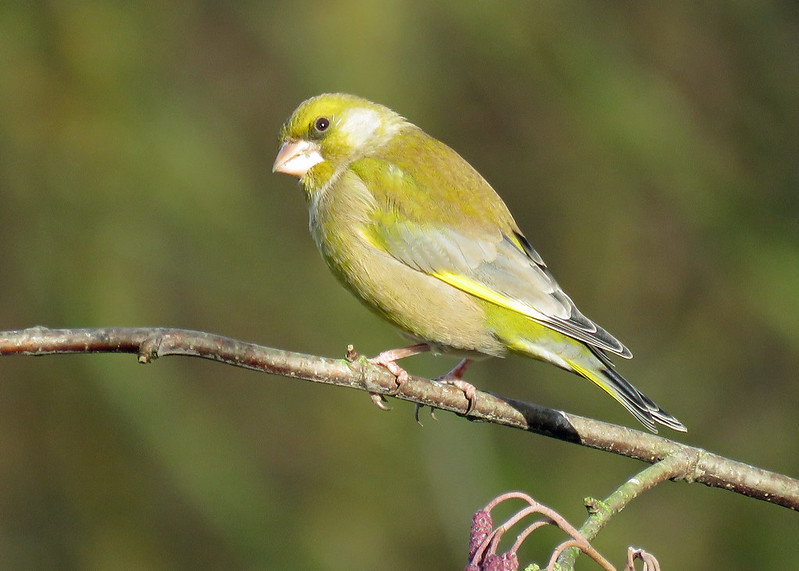 Greenfinch - Carduelis chloris