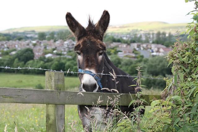 Rossendale, donkey, Helmshore, Lancashire, England, - cute