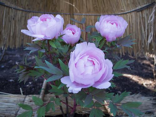 2016/02/07 (日) - 12:30 - 八千代椿 - 鶴岡八幡宮神苑ぼたん庭園