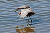 Reddish Egret (Egretta rufescens), Bolsa Chica Ecological Reserve, Huntington Beach, CA by Ronald Kieve