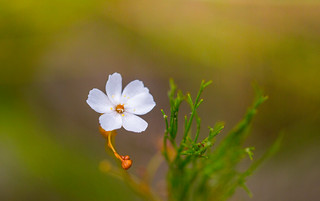 Drosera peltata Flower