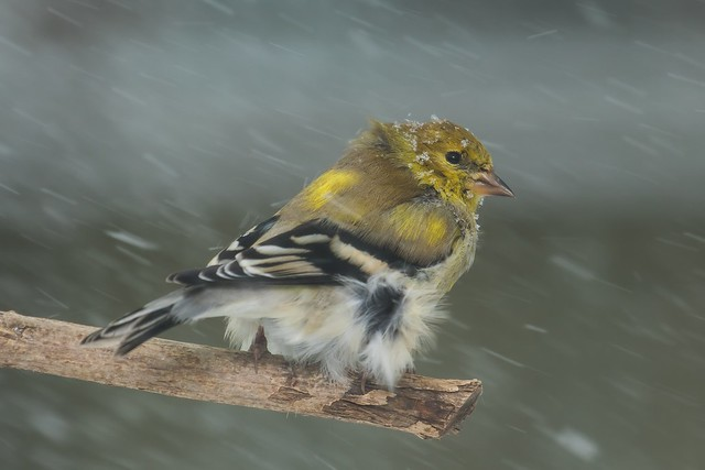 American Goldfinch (spinus tristis)   Lexington, KY   FEATURED