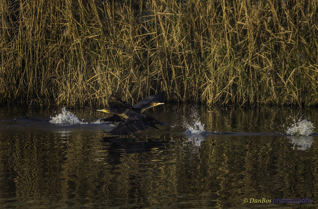 Cormorants (Phalacrocorax carbo) crossing ways