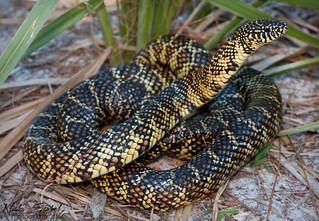 Florida Kingsnake | by Nick Scobel