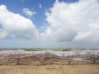 peach plantation | מטע אפרסקים | by Yoni Lerner
