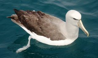 Salvin's Albatross , NGID681667507 | by naturgucker.de
