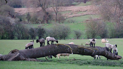 169 landscape nickfewings grass young fallen tree trunk cotswolds field spring lambs lamb 2016
