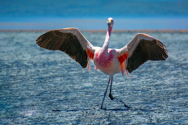 Flamingo andino.