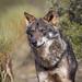 Canis lupus signatus - Photo (c) Mario Madrona, osa oikeuksista pidätetään (CC BY-NC-SA)