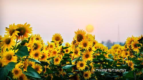 sunflowers hoahướngdương hòanghôn khoảnhcủaphạmvănhương nhiếpảnhphạmvănhương 0908915090 phạmvănhương sàigòn27tét