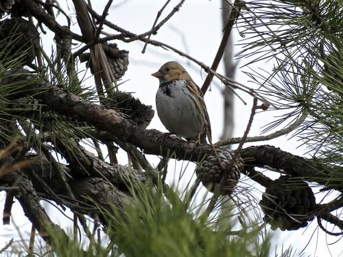 Harris's Sparrow | by Justin Lee (NoNameKey)