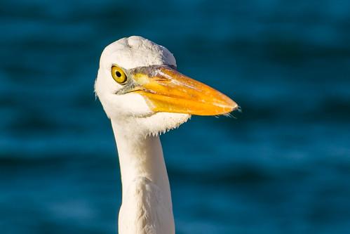 egret reiher face portrait bird vogel key west usa florida blue orange yellow nature holiday hüttel jhuettel