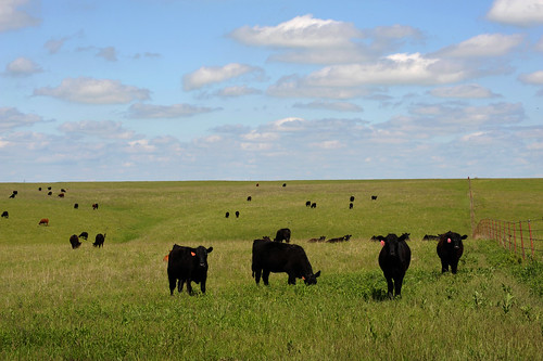 Black Angus, K-State Extension News | by KSRE Photo
