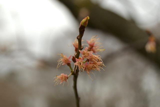 Prunus hirtipes