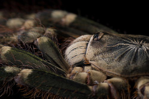 Poecilotheria sp. Lowland | by mygale.de