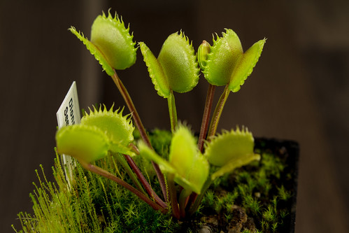 Dionaea Seed Grown 005 | by Taudan Plants