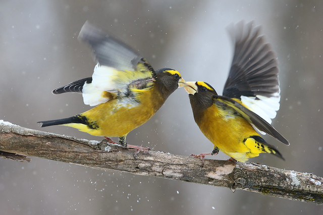 Gros-bec errant / evening grosbeak males