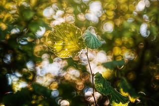 Chlorophyll | by Chrisnaton