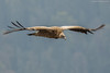 Himalayan Vulture by Rudy_Whistlingtrails