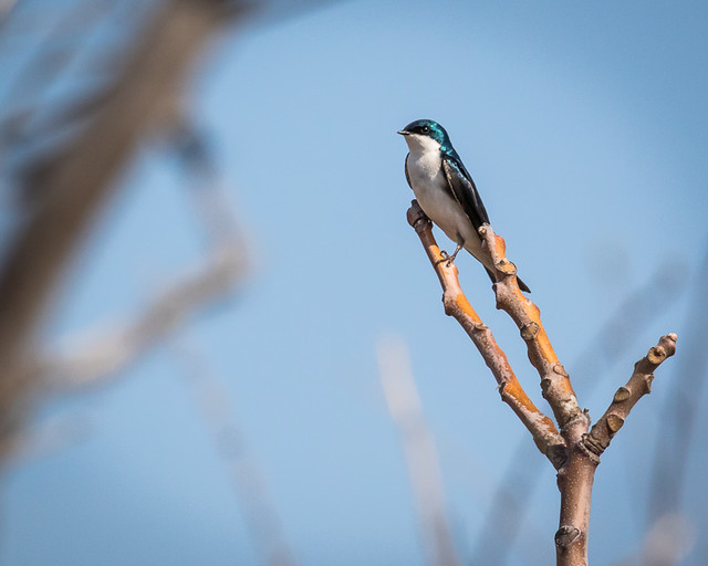 Tree Swallow_7531_JBWR_03-23-2016_resized