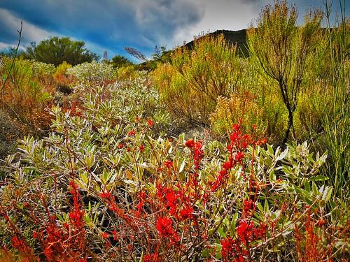 life california flowers red plants nature landscape losangeles plantas magicmountain sagebrush santaclarita danieljordan