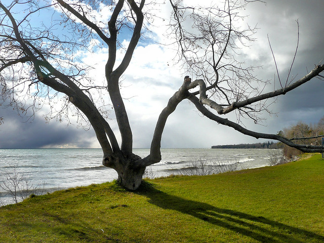 Tree on Cobourg waterfront