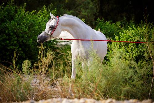 show horses horse colors animal outdoor vibrant breeding arabian stallion equine