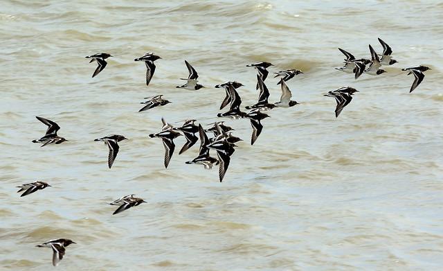 Flock of Turnstones in Flight