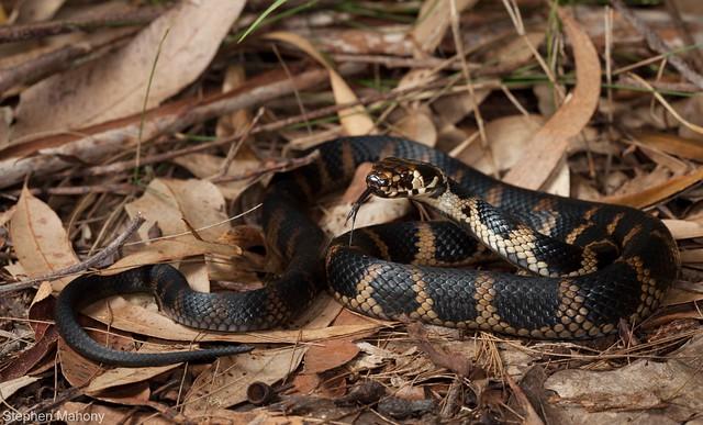 Stephens' Banded Snake (Hoploceaphlus stephensii)