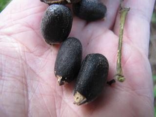 starr-100113-1227-Jatropha_curcas-seeds_in_hand-Waihee-Maui