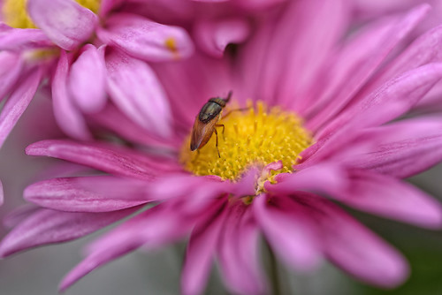 pink flower macro yellow closeup insect manual pollen fullframe tamronspaf90mmf28dimacro11 liveview
