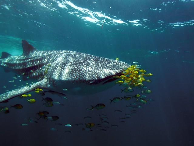 Mafia Island Whale Sharks 1582