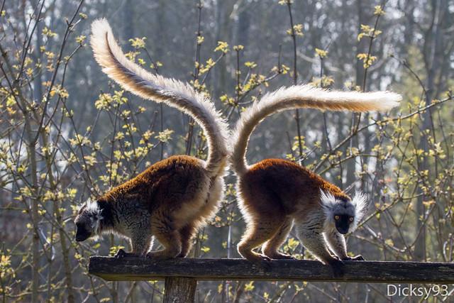 Lémurs macaco (Eulemur macaco macaco)