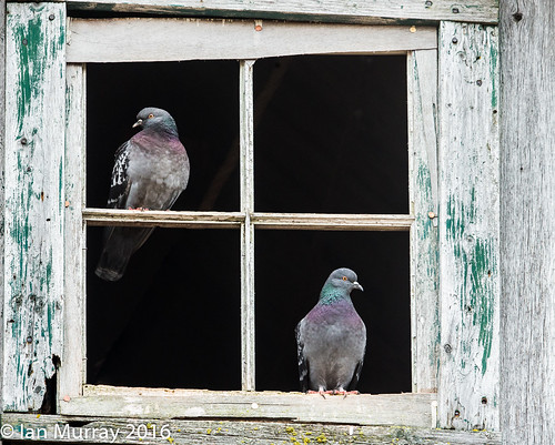 IMG_1467 Pigeons in the Barn! | by Wallace River