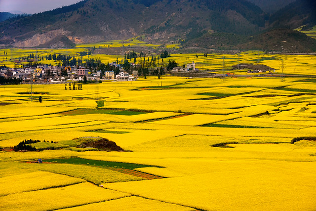 Canola flower field in Luoping, Yunnan, China