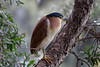 Nankeen NIght Heron Perth John Oldham Park C by PJQuinn 1