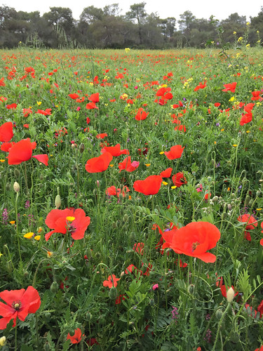 20160327_6408_poppies_resize | by abelpc_5355