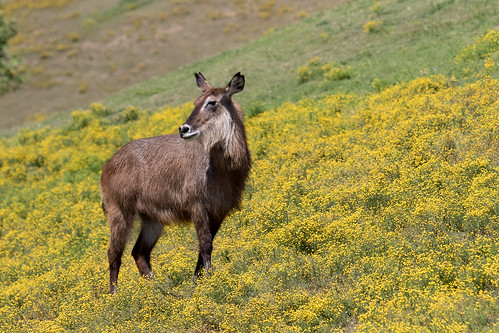 Defassa Waterbuck | by Bob Worthington Photography