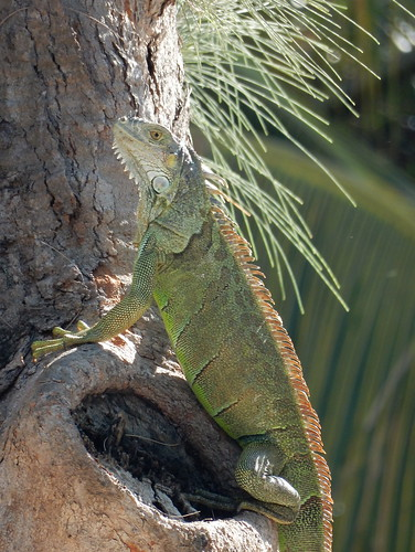 Isla Aguada - iguana