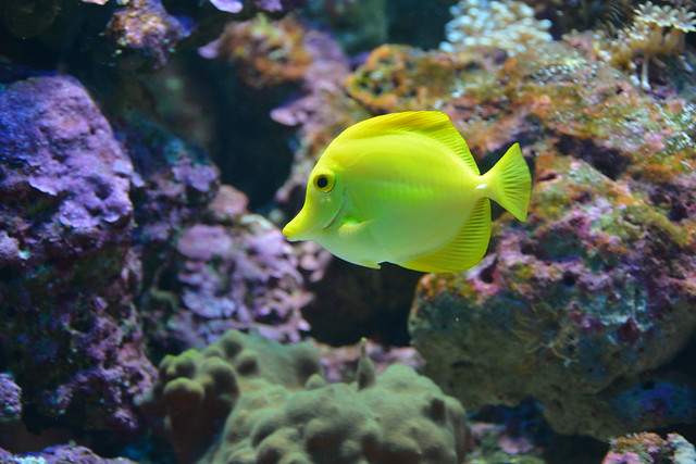 Yellow Tang ( Zebrasoma flavescens)