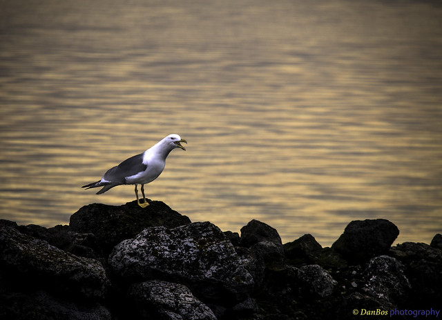 Gull crying to the rising sun in a winter morning