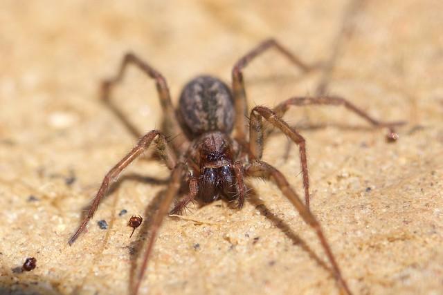 Agelenidae, Eratigena  sp.(Tegenaria)