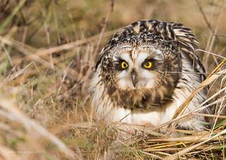 Short - eared Owl | by Peter Bangayan