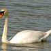 Flickr photo 'Mute Swan (Cygnus olor)' by: Bernard DUPONT.
