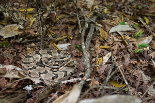Canebrake Rattlesnake. Southeast Louisiana, April 2016 | by rman2013