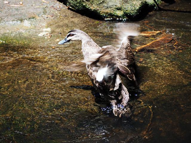 Duck In Motion