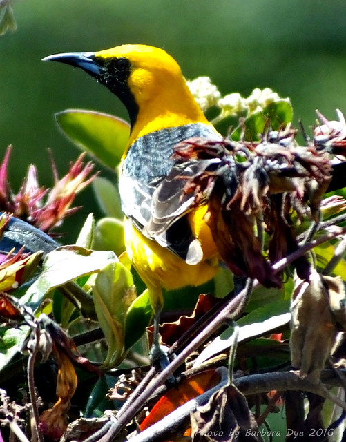 Hooded Oriole. El Granada yard. 4.24.15